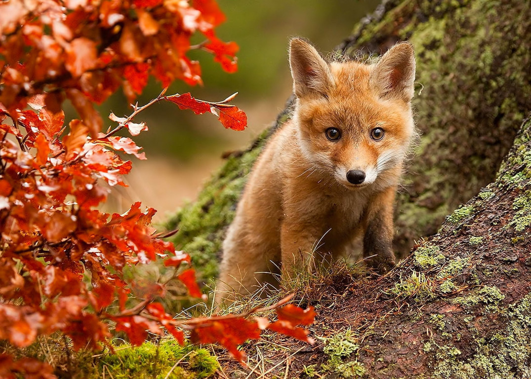 Red Fox Wallpaper Red Hd Picture Fox