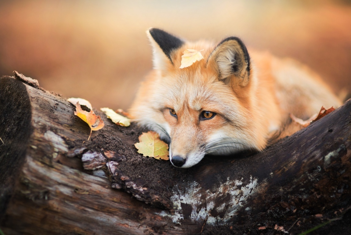 Red Fox Wallpaper Red Hd Picture Hd Fox