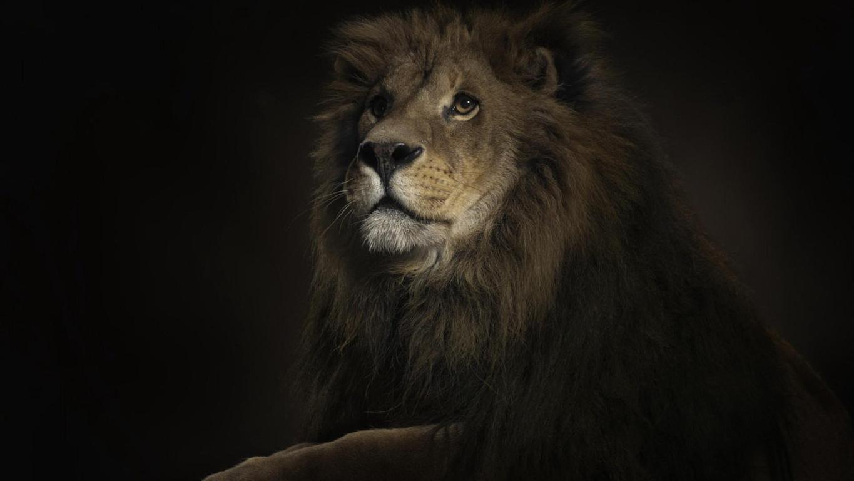 Roaring Lion Wallpaper