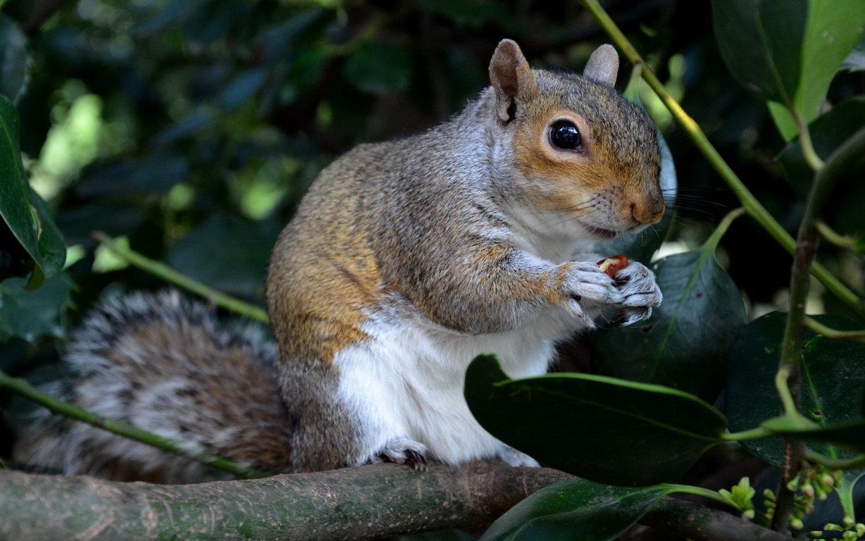 Squirrel Computer Background