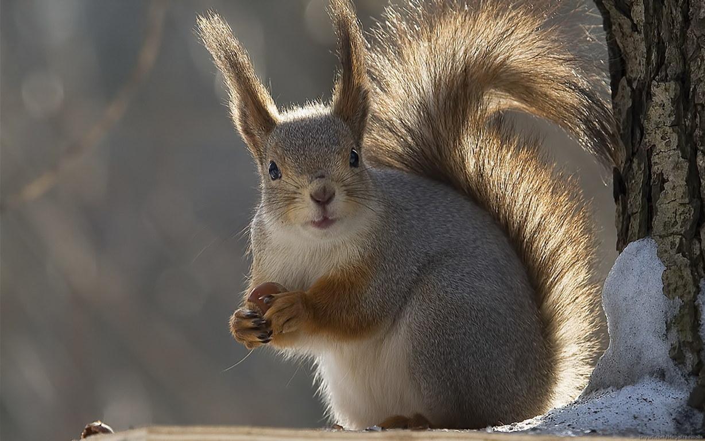 Squirrel Hd Wallpaper Squirrel Hd Picture One Hd Wallpaper