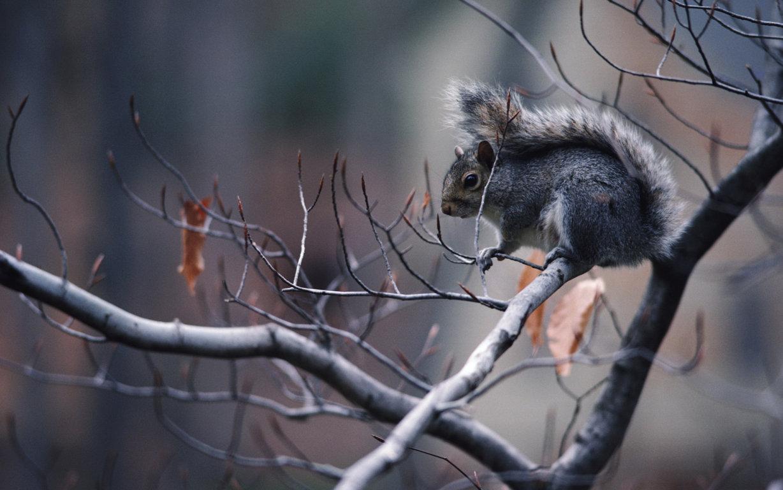 Squirrel Wallpaper 4K