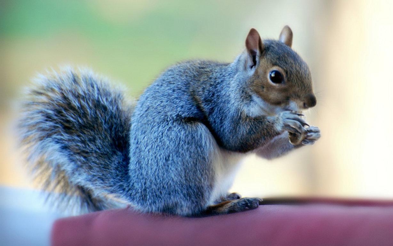 Squirrel Wallpaper Animals Wallpaper Pc Gallery