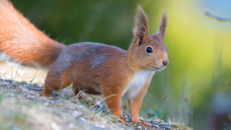 Squirrel Wallpaper Fun Animals Videos Picture Hd Wiki