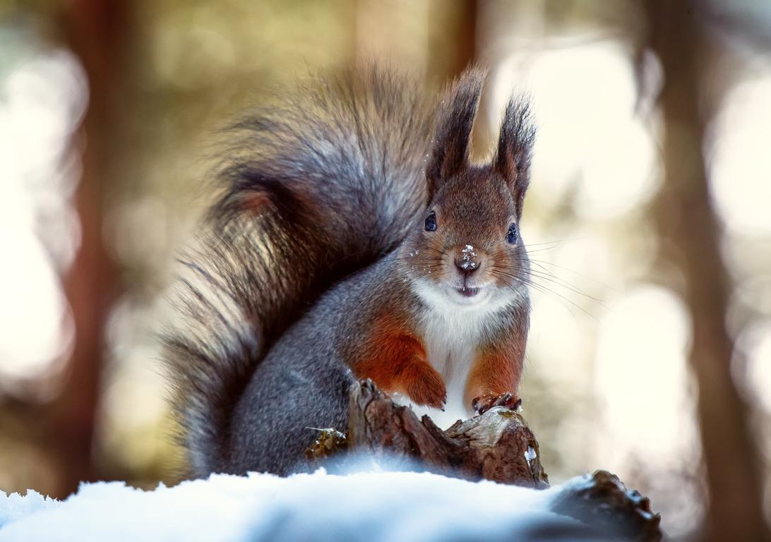 Squirrel Wallpaper HQ
