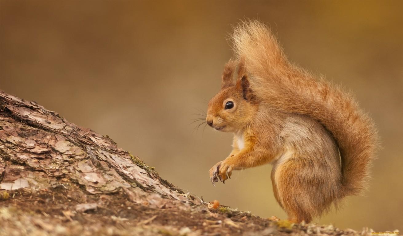 Squirrel Wallpaper Hd Squirrels Animals Cute Squirrel Pics