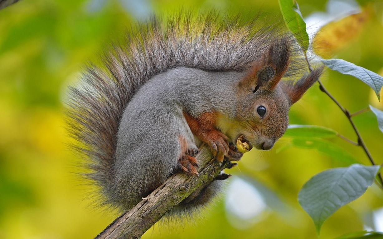 Squirrel Wallpaper High Quality HD