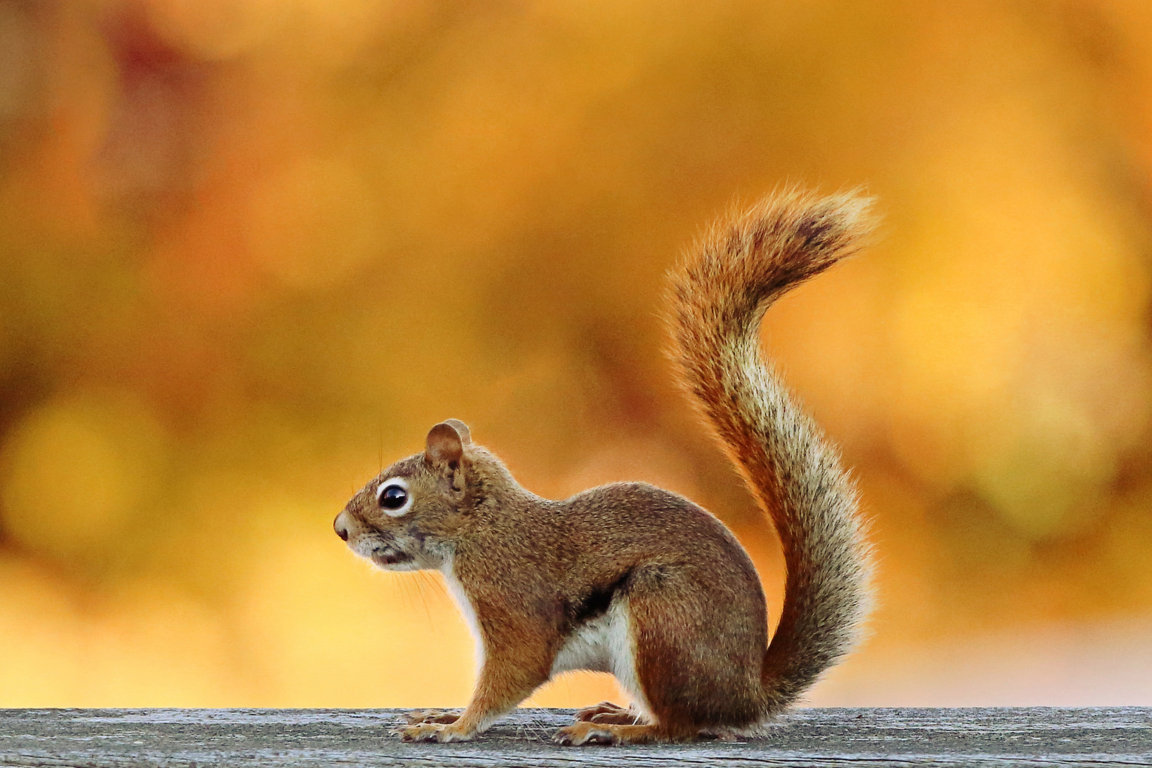 Squirrel Wallpaper for Android