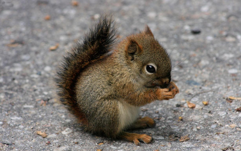 Squirrel Wallpaper for Desktop