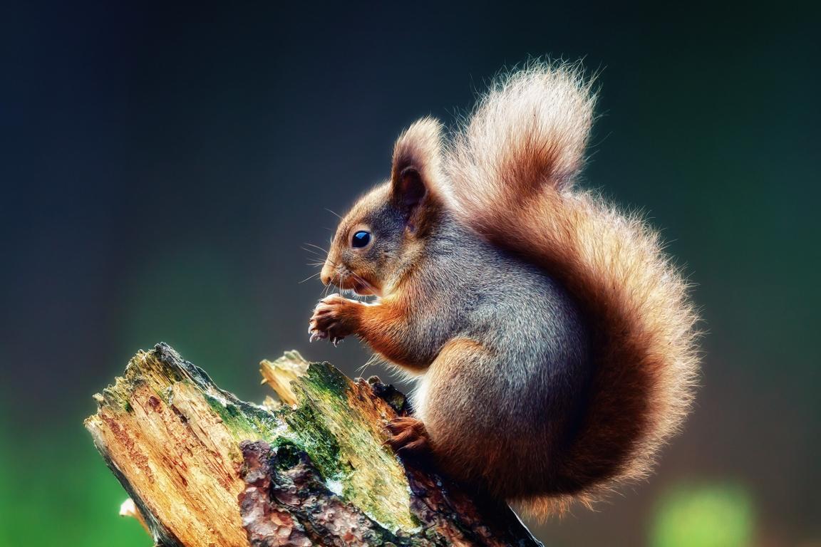 Squirrel s wallpaper