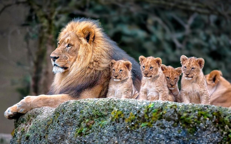Sunday October Lion Animals Galleries Image