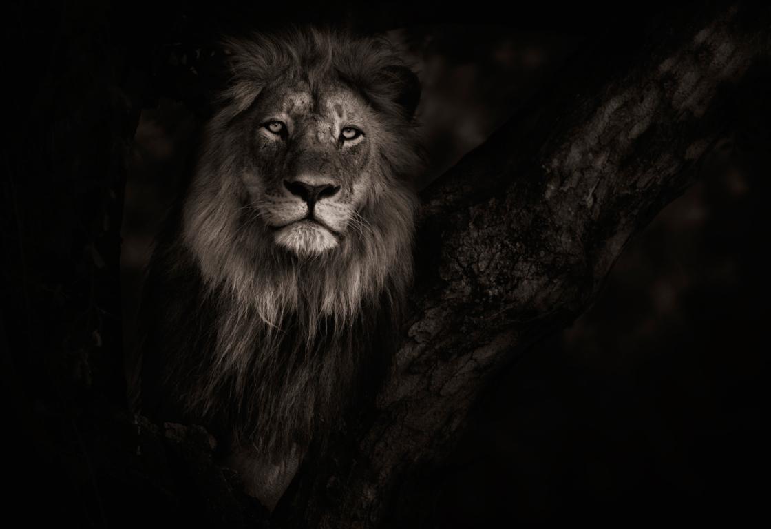 Sunday October Lion Image Galleries Animals