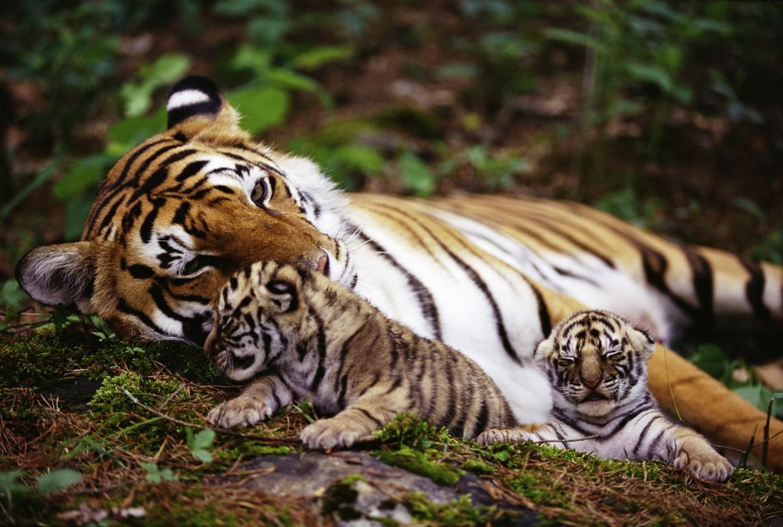 Tiger HD Wallpaper HD