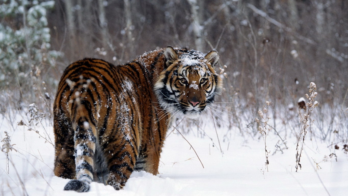 Tiger Hd Wallpaper And Image Hd Background