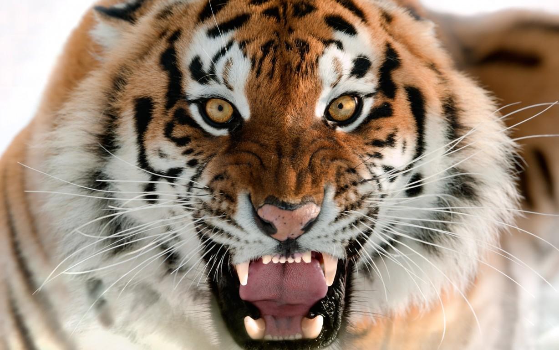 Tiger Sitting Majestic 4k Desktop Wallpaper For 4k Ultra Hd Tv Hd