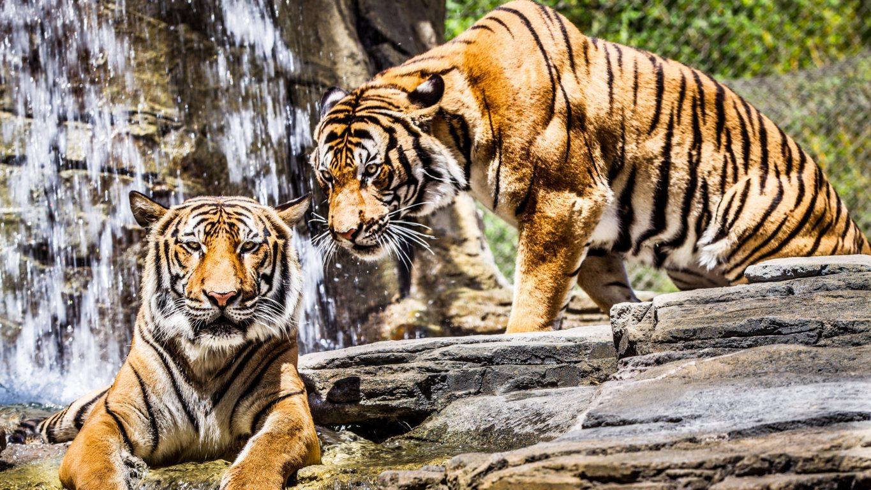 Tiger Wallpaper Desktop Background Wallpaper Earthly