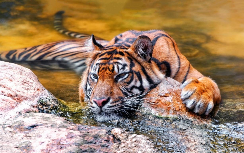Tiger Wallpaper Full HD 15 Get HD Wallpaper Free