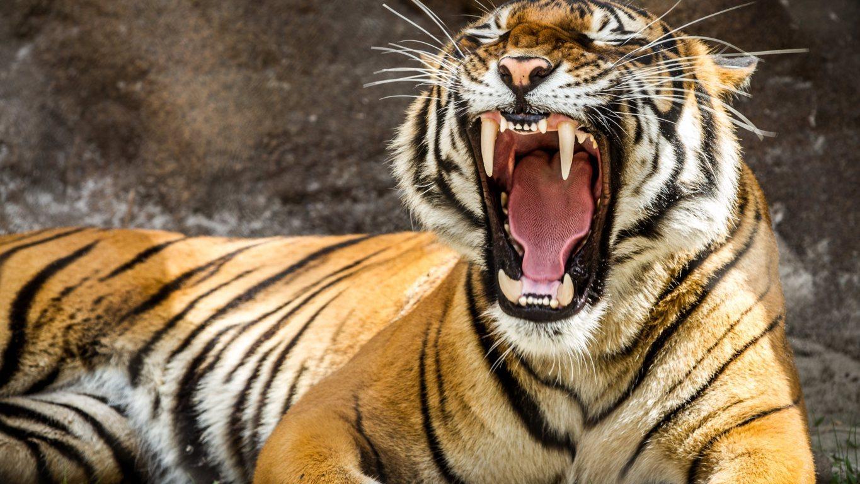 Tiger Wallpaper Full Hd Get Hd Wallpaper Free 15