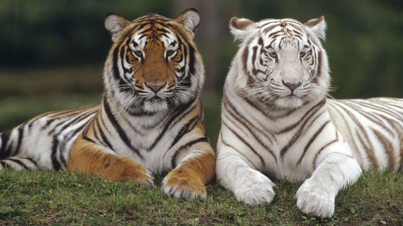 Tiger Wallpaper High Quality Download Subwallpaper Free