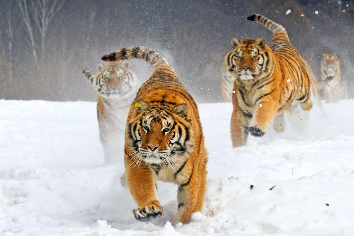 Tiger tigers wallpaper 4K