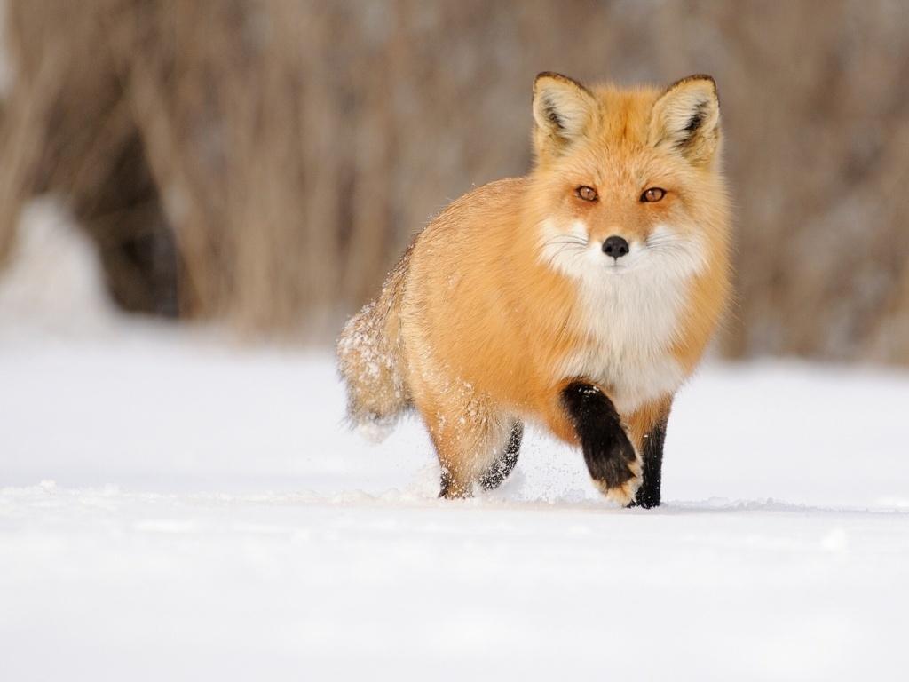 Top 59 Red Fox Hd Animal Spot Wallpaper