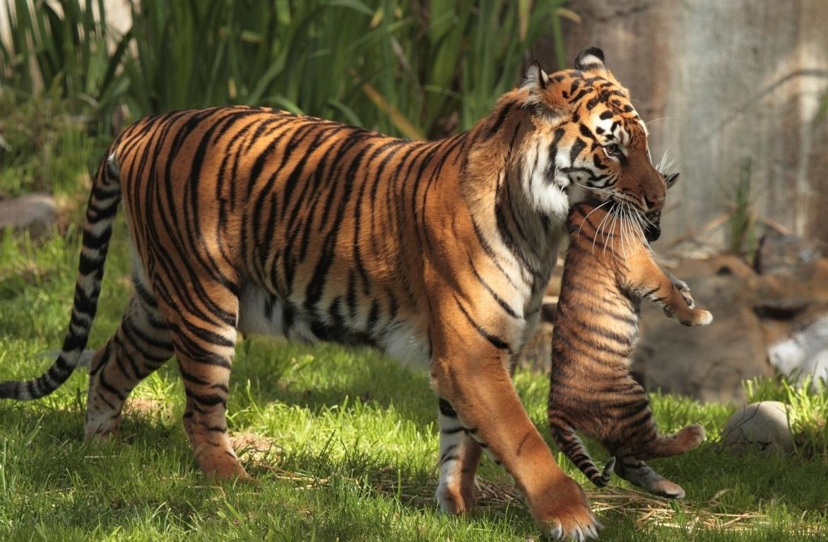 Top 70 Bengal Tiger Hd Animal Spot Hd Wallpaper