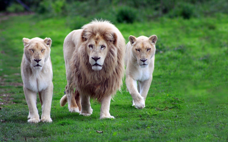 Top Beautiful Lion Photo 4k Ultra Hd B.Scb Wallpaper 14