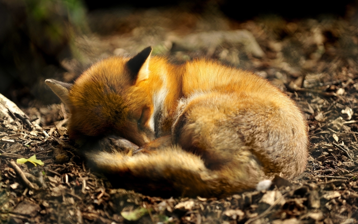 Ultra Hd Fox Wallpaper Background Image 4k And