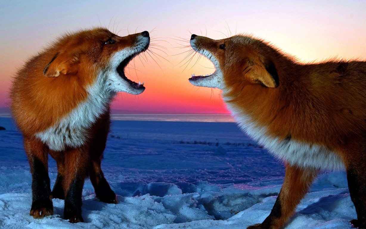 Ultra Hd Fox Wallpaper Background Image 4k Hd And