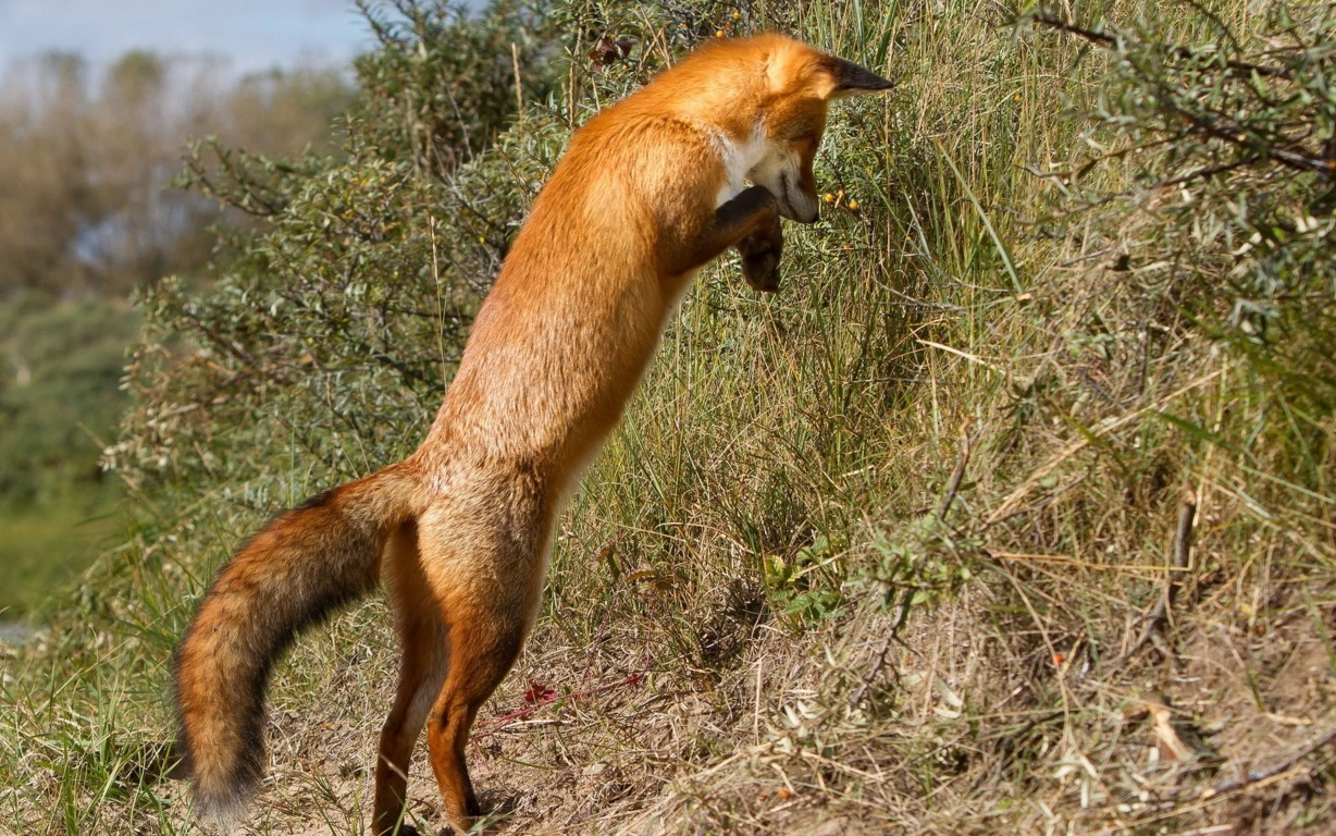 Ultra Hd Fox Wallpaper Background Image And