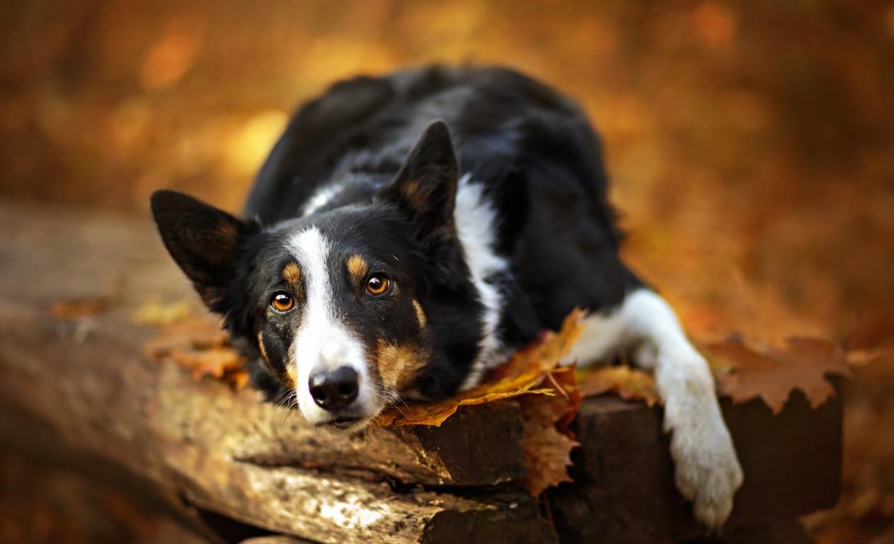 Wallpaper Autumn Look Leaves Dog Bokeh 4k Foliage