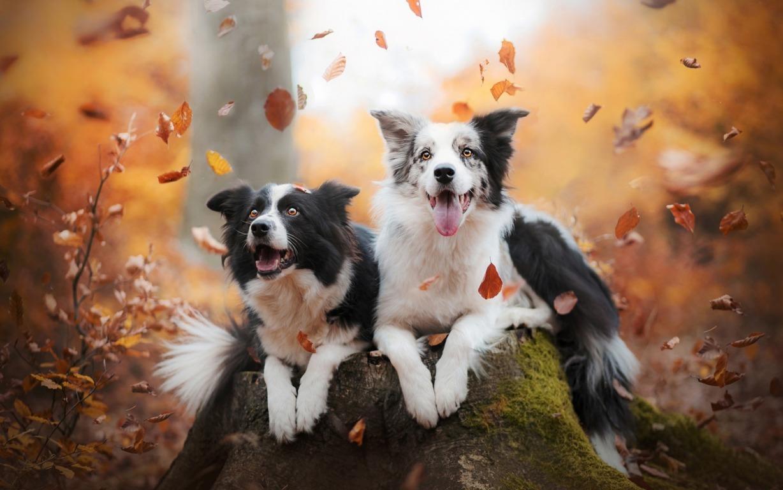 Wallpaper Border Collie Dog Animals Glance