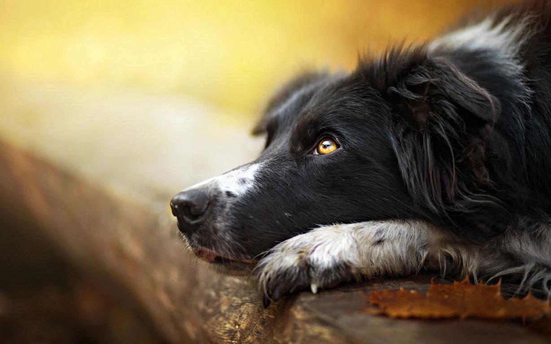 Wallpaper Border Collie Dog Glance Animals Hd Two
