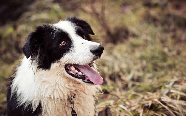 Wallpaper Border Collie Dog Glance Animals Two
