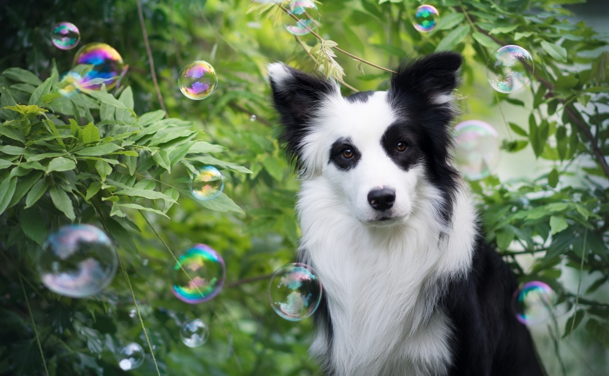 Wallpaper Border Collie Dog Meadow Animals Hd Mountains