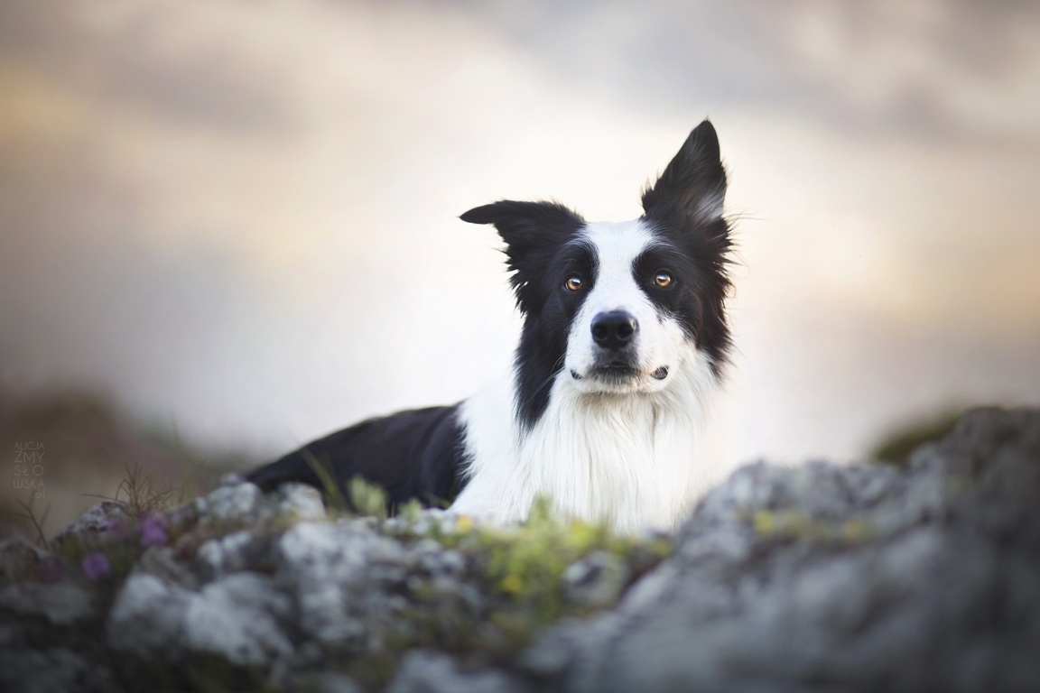 Wallpaper Border Collie Dog Meadow Animals Mountains