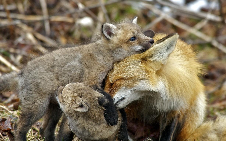 Wallpaper Fox Winter Snow Animals Hd