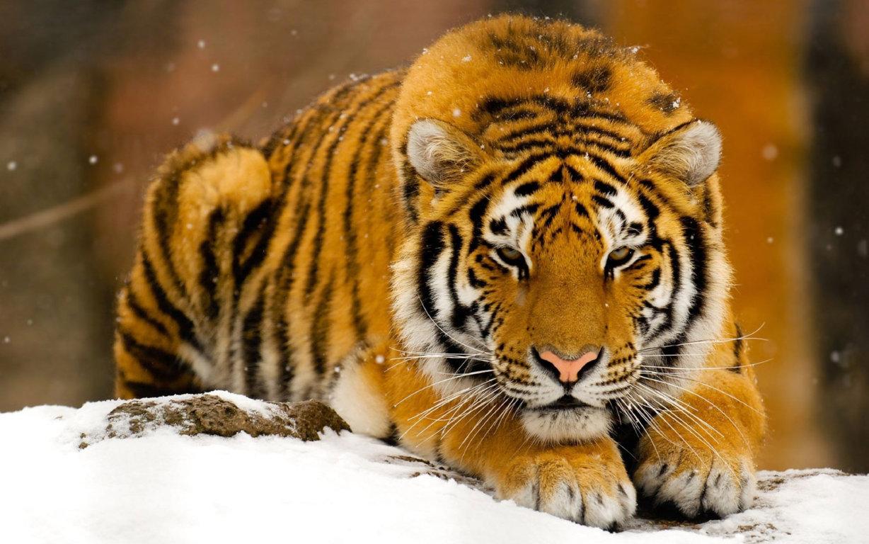 Wallpaper Tiger 4K