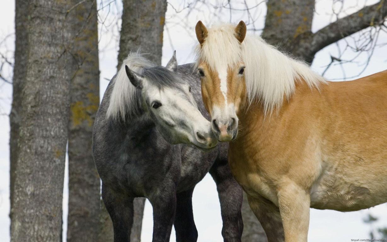 White Horse Wallpaper Horse Wild Mustang Hd Running