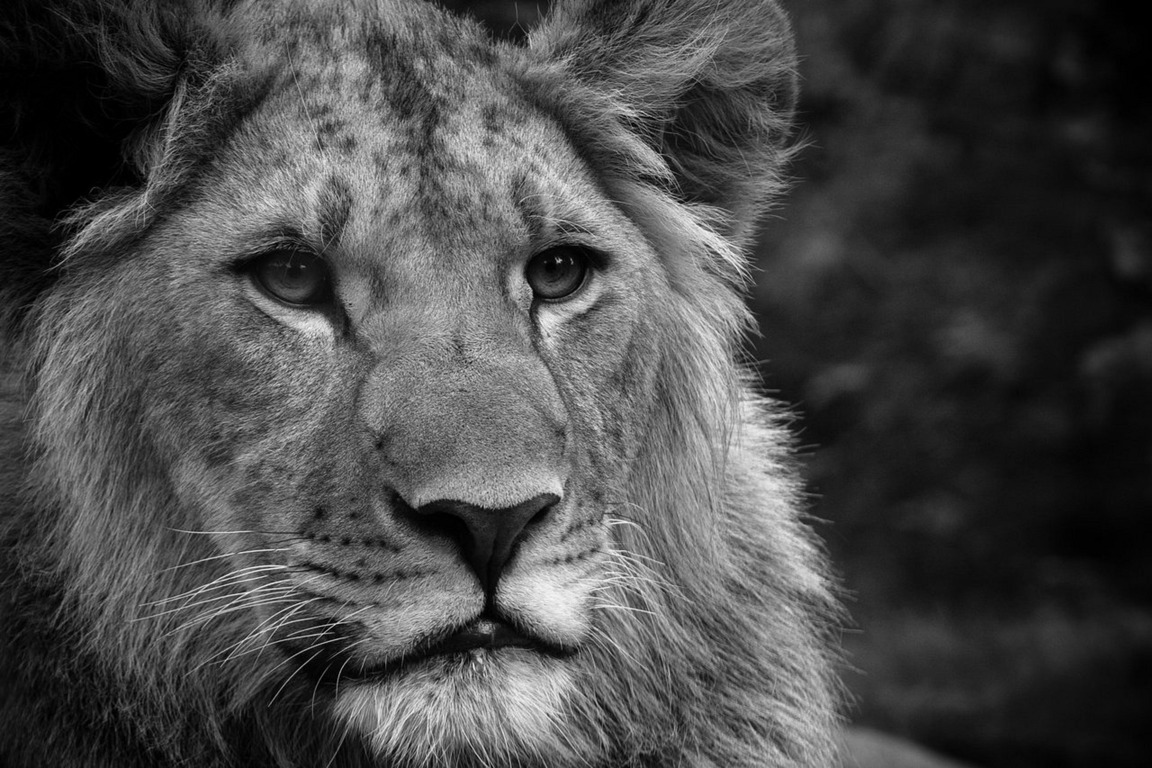 White Lion Background