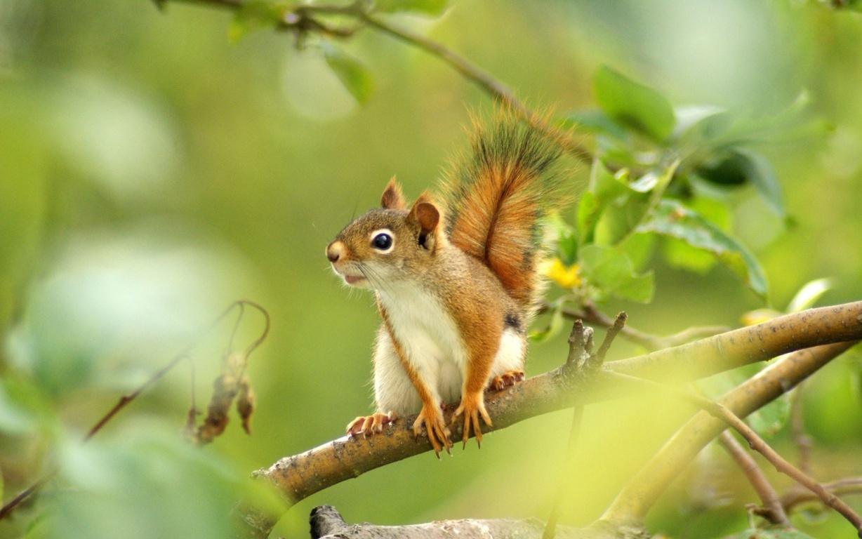 White squirrel wallpaper