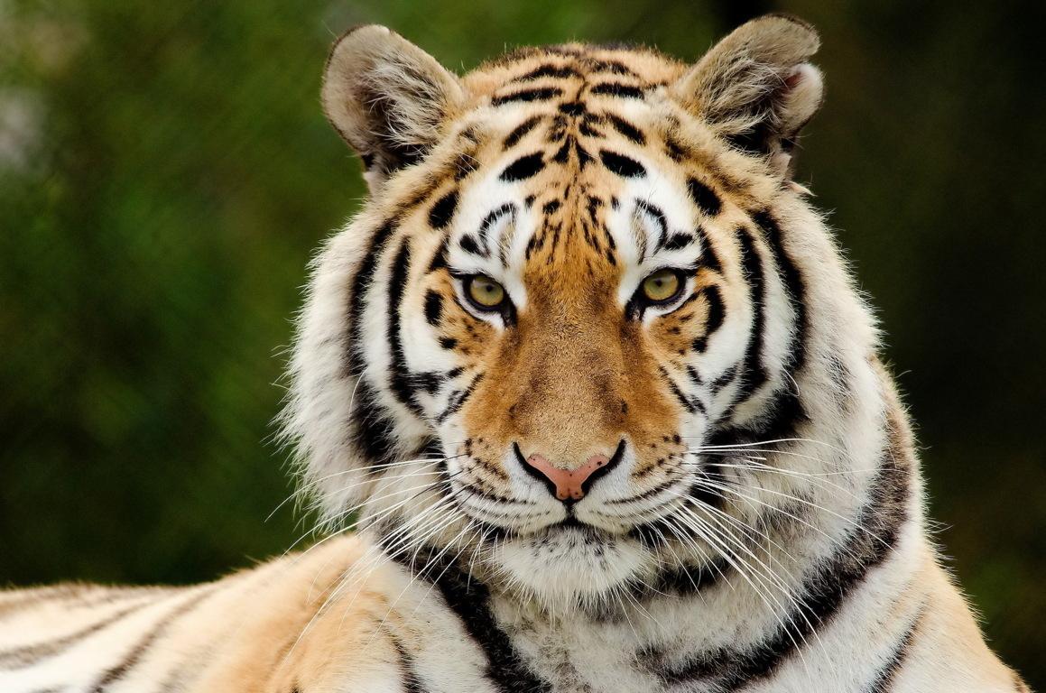 Abstract Tiger Wallpaper HD