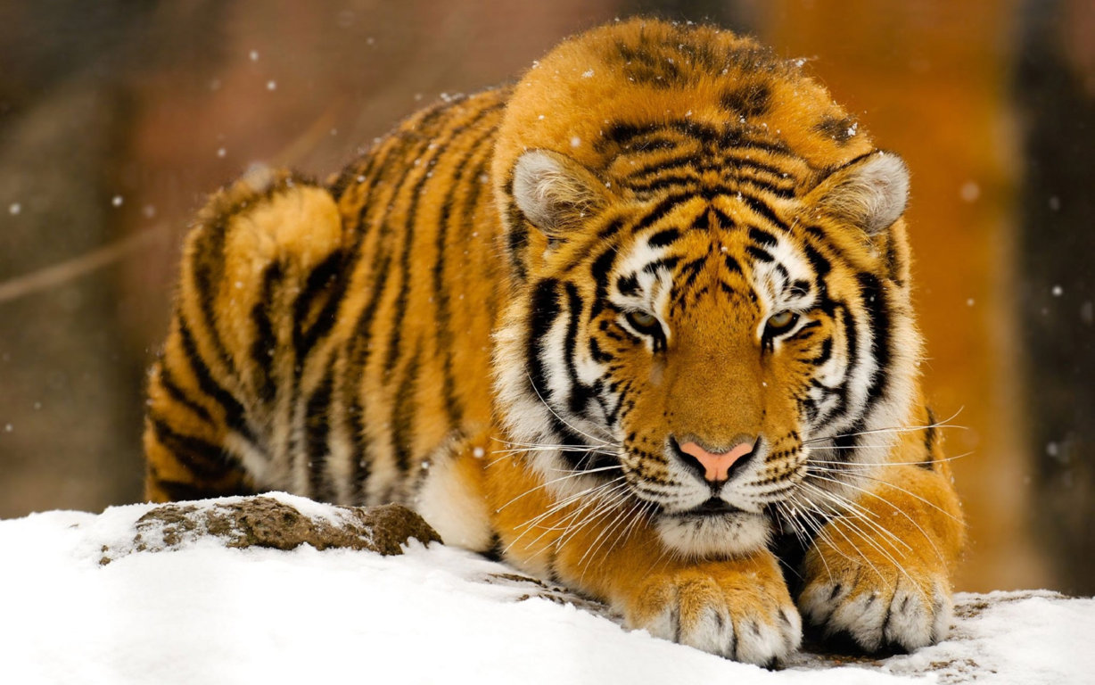 Abstract Tiger Wallpapers