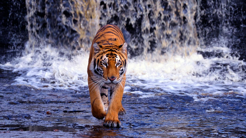 Animal Tiger Hd Desktop Wallpaper Background
