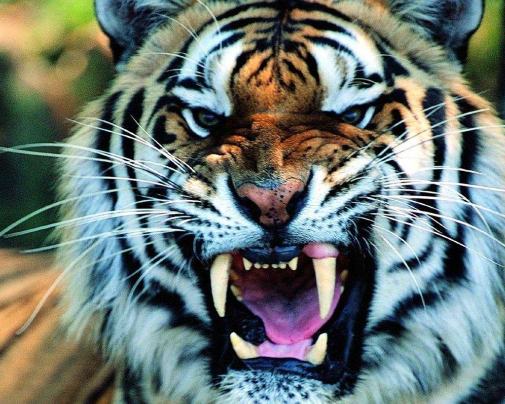 Beautiful Tiger Sleeping In Hd Desktop Background Wallpaper Jungle