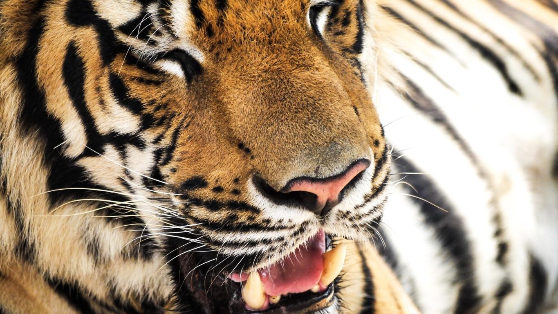Cute Baby Tiger Wallpaper