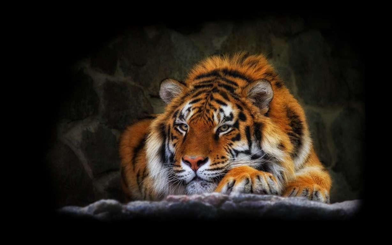 Cute New Born Tiger Wallpaper Desktop Cub