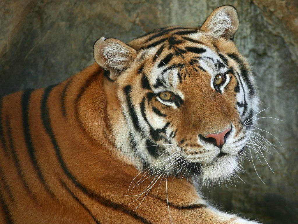Cute Tiger Cub 4k Desktop Wallpaper For 4k Ultra Hd Hd