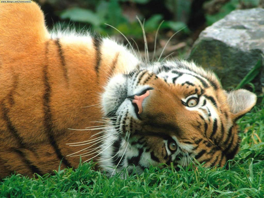Cute Tiger Cub 4k Desktop Wallpaper For 4k Ultra Hd Tv Hd