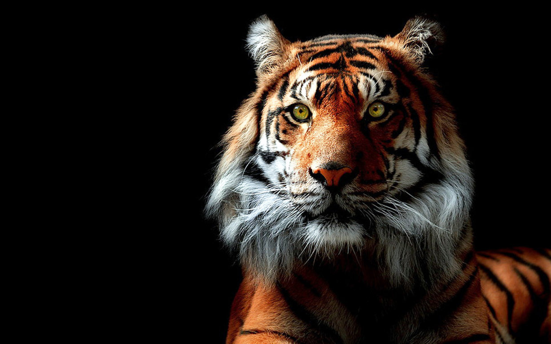 Cute Tiger Wallpaper Desktop Background